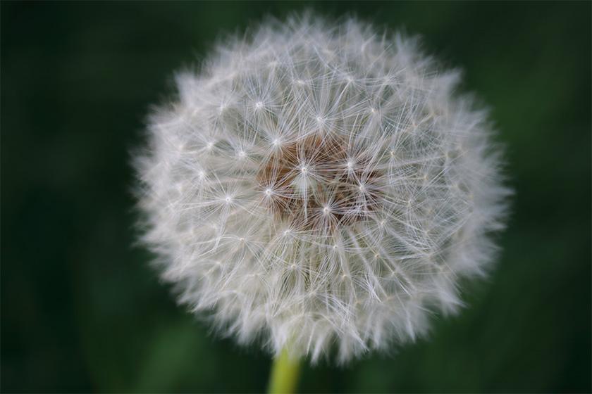 natur.blomst.flower.mælkebøtte.foto.mette.bundgaard