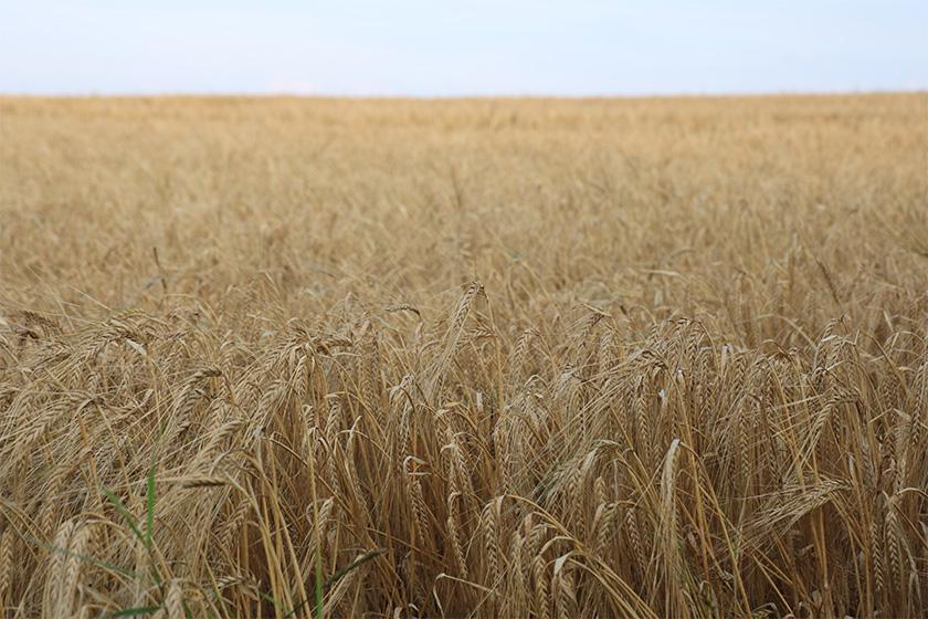 natur.himmel.mark.korn.foto.mette.bundgaard