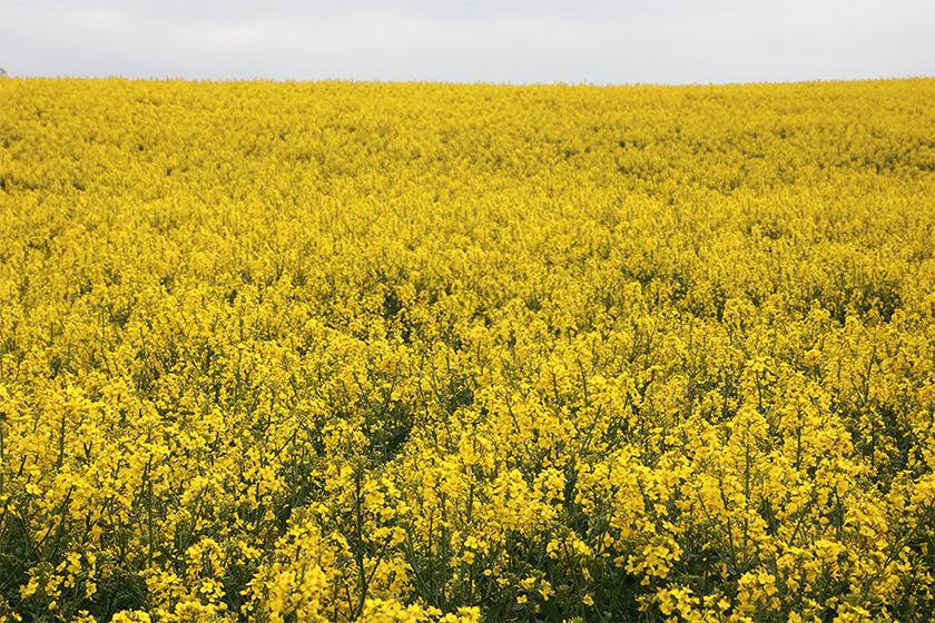 natur.himmel.rapsmark.korn.foto.mette.bundgaard